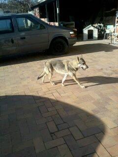 Vegas, chien- loup tchèque (f) 1 an ASSO31 ADOPTEE 10924710