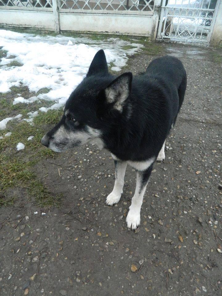 OURAL x  husky (m) 3 ans  ok congénères et chats ROUMANIE 10953410