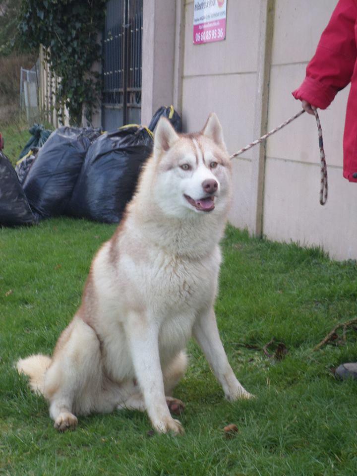 Jecko mâle Husky né le 28/01/2014 ASSO60 10984010