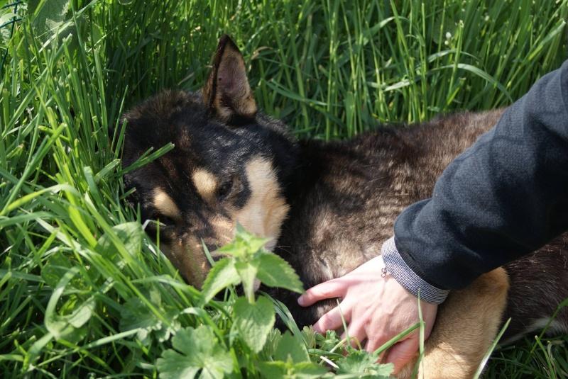 Daiko x husky entre 5 et 7 ans ASSO Roumanie ADOPTE 11008511