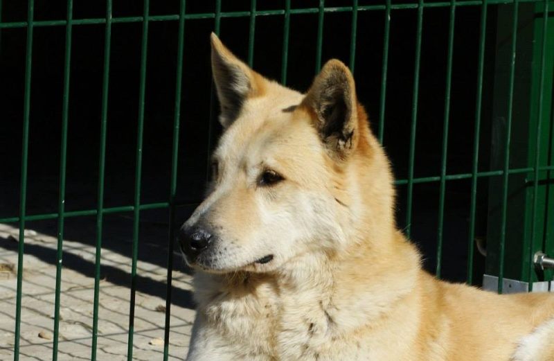 BLONDY, x Husky / Berger, 9 ans, à l'adoption ASSO 28 ADOPTE 11012110