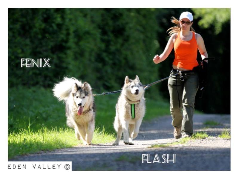 FLASH Husky (m) né le 19/11/2010 ok congénère  PAS DE CHATS ASSO39 - Page 2 11037810