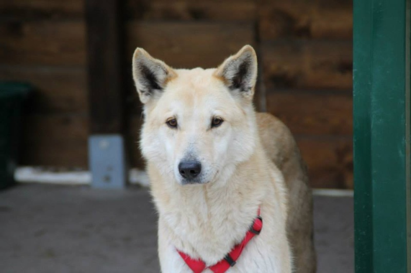 BLONDY, x Husky / Berger, 9 ans, à l'adoption ASSO 28 ADOPTE 11042910