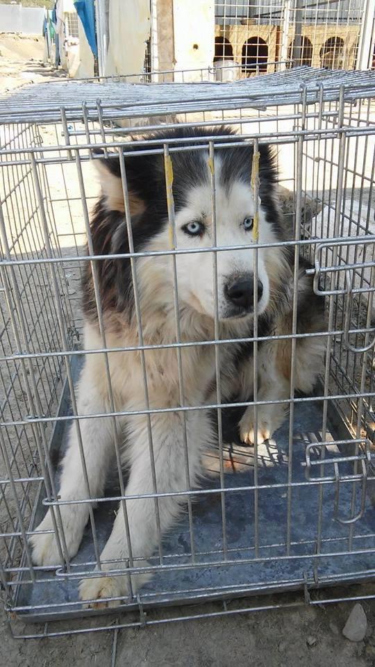Hector husky (m) 4 ans refuge public de Botosani au nord de la Roumanie.ADOPTE 11052411