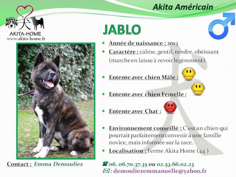 Jablo Akita Américain (m)-2 ans  gentil, tendre, obéissant ASSO44 11055310