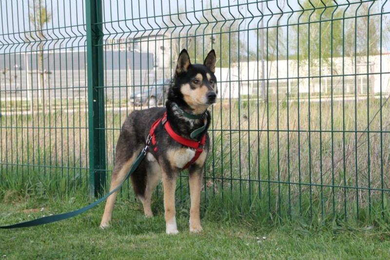 Daiko x husky entre 5 et 7 ans ASSO Roumanie ADOPTE 11064611