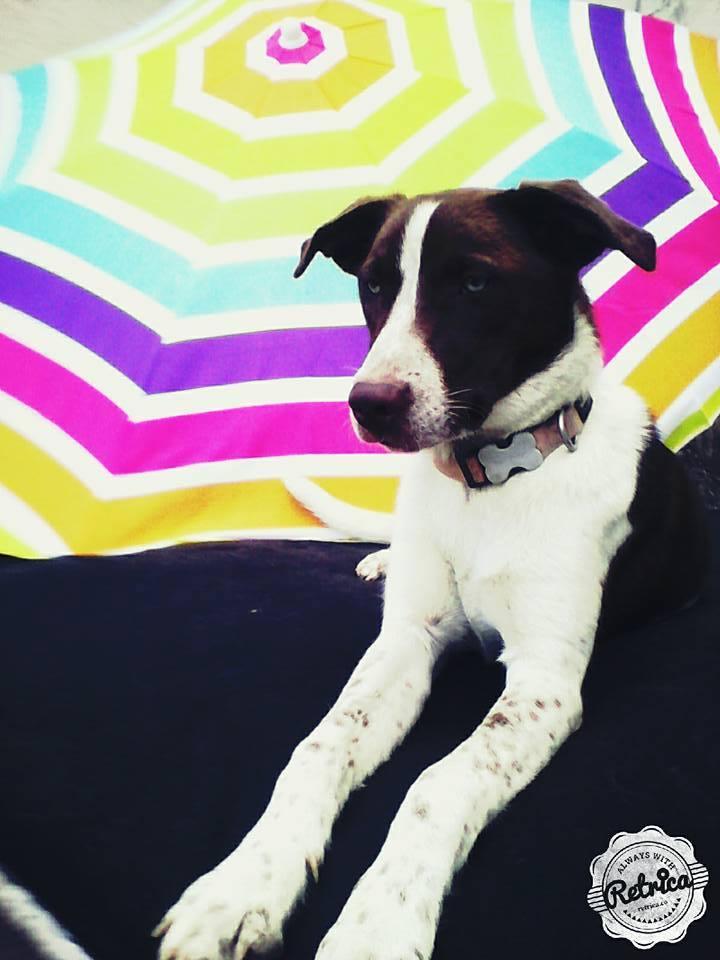 Milka ( f)  Husky/ braque allemand 6 mois ok congénères ASSO37 Adopter 11066610