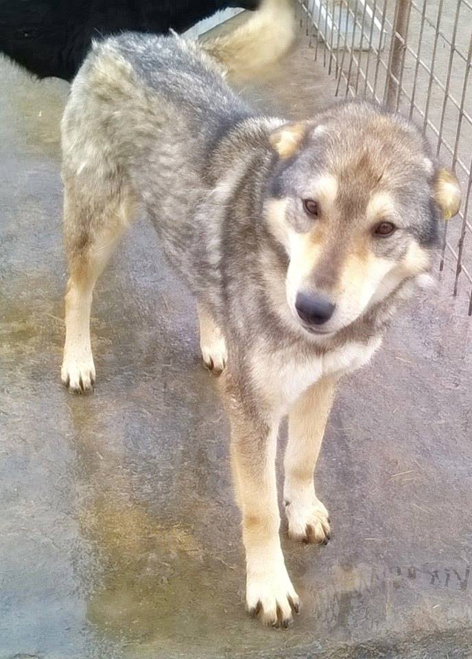 Migou, croisé Husky taille moyenne 2/3 ans. Roumanie  11071810