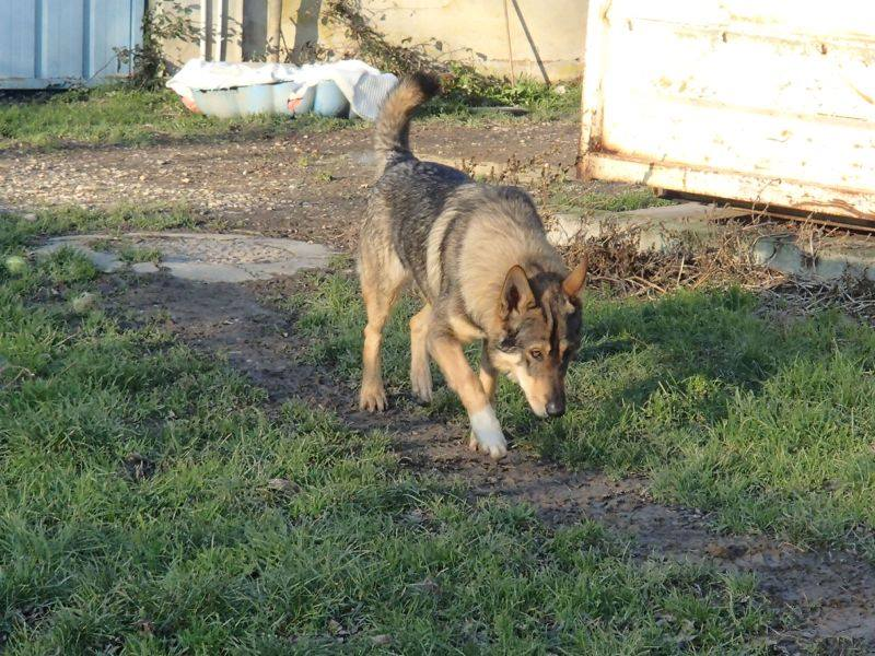 JACO type chien loup tchécoslovaque, né 22-02-2014, sociable REFU82   ADOPTER 11078110