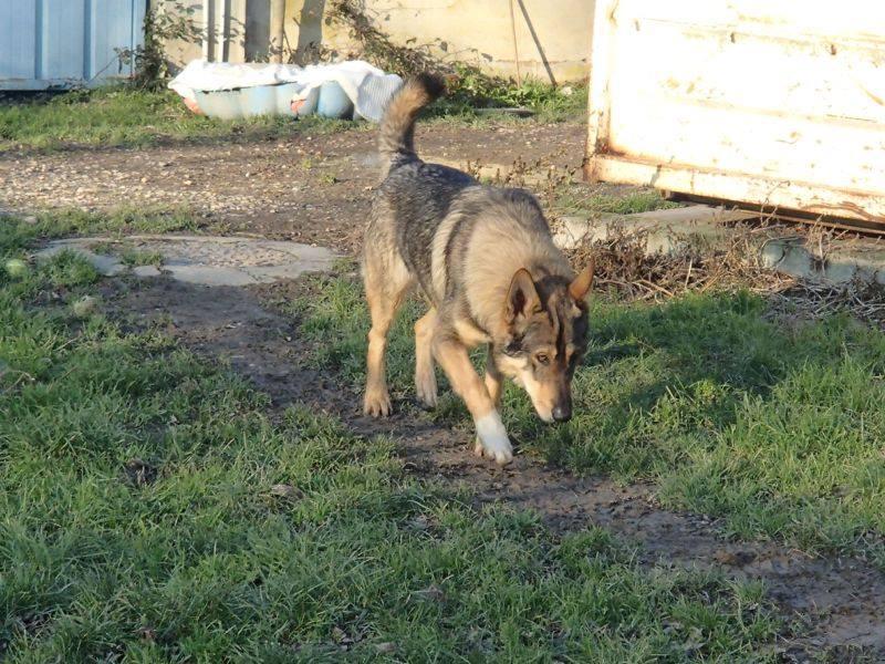 JACO type chien loup tchécoslovaque, né 22-02-2014, sociable REFU82   ADOPTER 11078111
