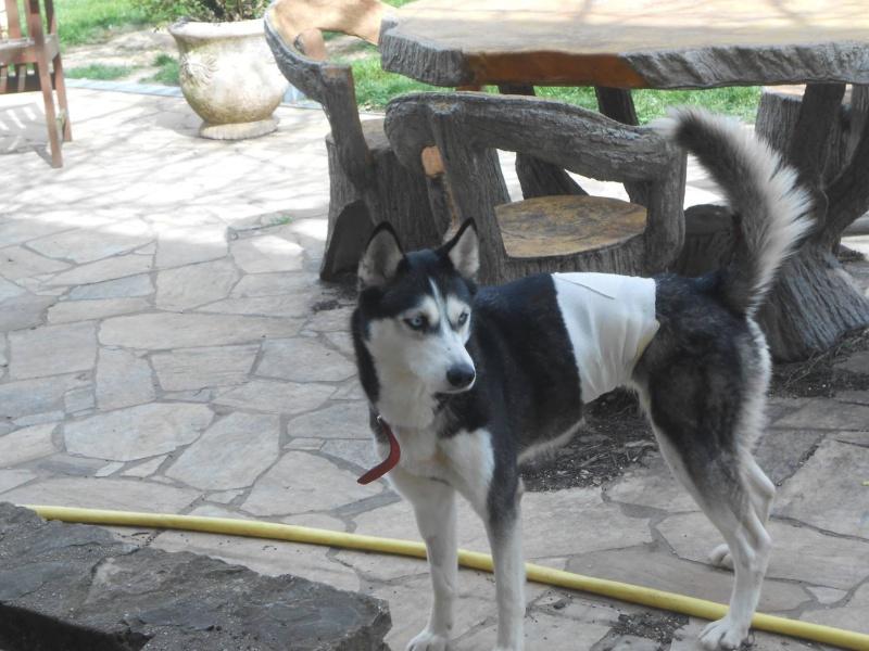 Caline Husky (f) sauvée de l'euthanasie ASSO39 - Page 2 11079510
