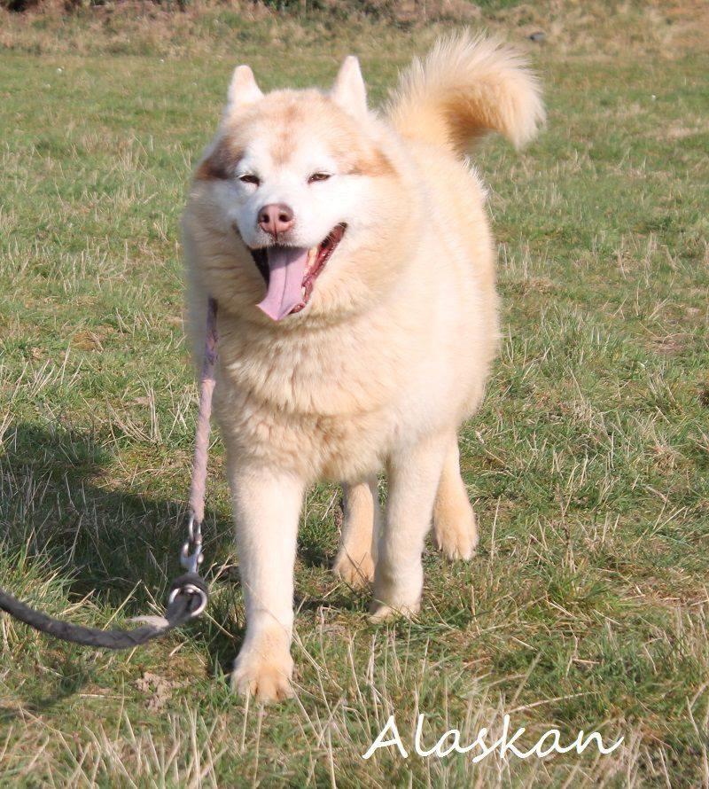 Alaskan, Sibérian Husky cuivré 28/10/2005 pas ok chat REFU28  11082610