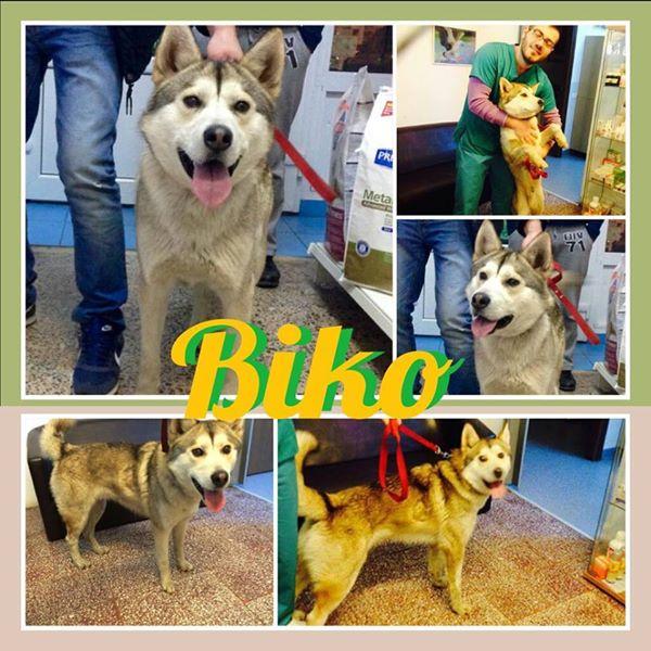 Biko, Husky 2/3 ans gentil ok congénère ROUMANIE ASSO Suisse ADOPTE 11083811