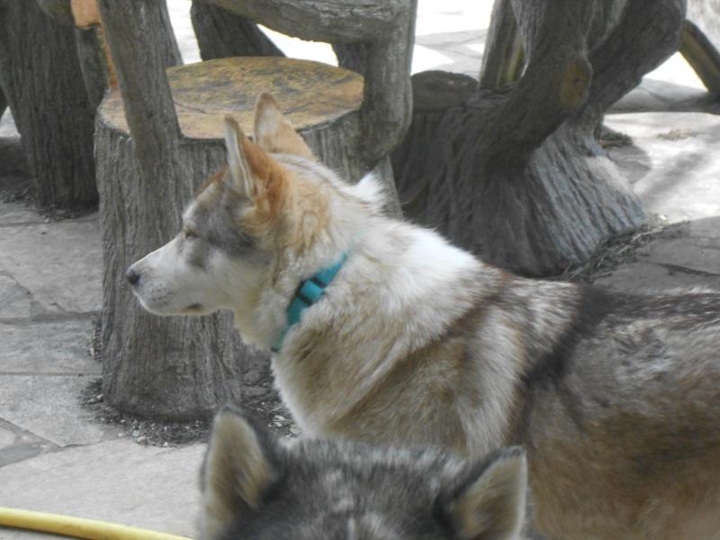 SHASTA, Husky (f) 2 ans sauvée de Roumanie ASSO26  ADOPTEE 11083910