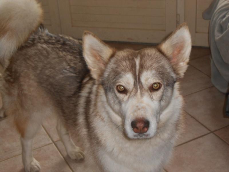 SHASTA, Husky (f) 2 ans sauvée de Roumanie ASSO26  ADOPTEE 11084110