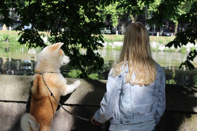 Hatchi Akita inu (m) 2 ANS 7 mois pas d'animaux pas d'enfants REFU BELGIQUE  ADOPTE 11088610