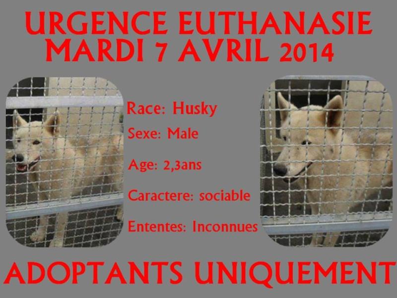 URGENCE EUTHANASIE MARDI 7 AVRIL husky (m) 2/3 ans OUTRE MER 11091410