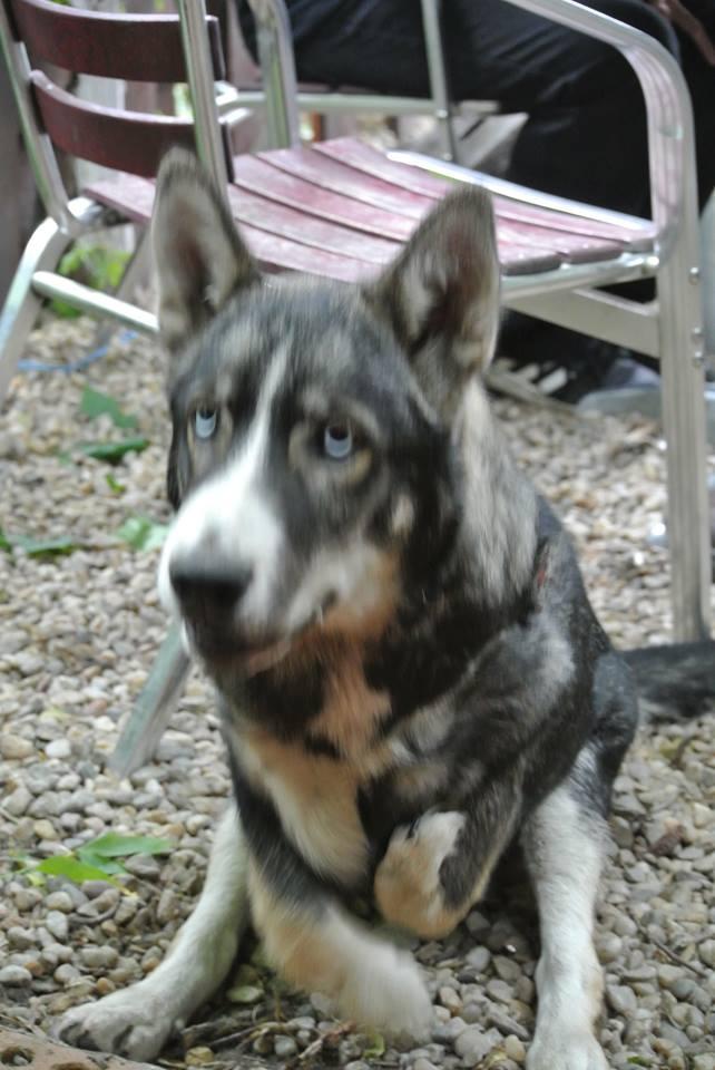 Sparky husky (m) 5 mois et demi, sauvetage Roumanie ADOPTE 11109511