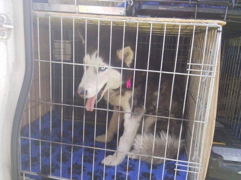 LUNA Husky 4/5 ANS pas ok chien URGENCE ROUMANIE  ADOPTEE - Page 2 11110210