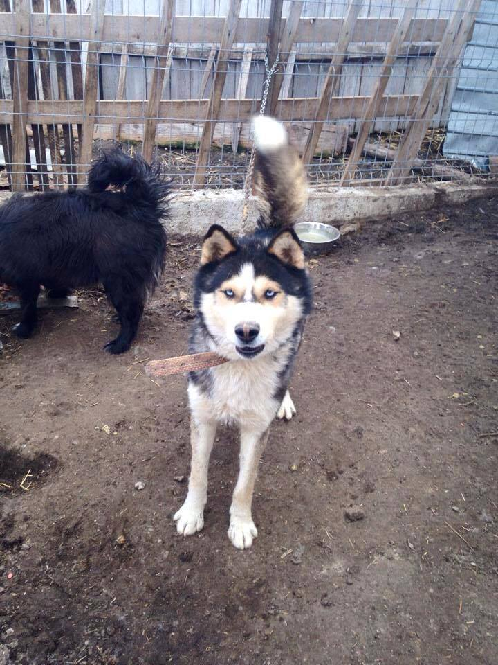 Huss Husky (m) 2/3 ans en urgence ROUMANIE ASSO Suisse  ADOPTER 11112510