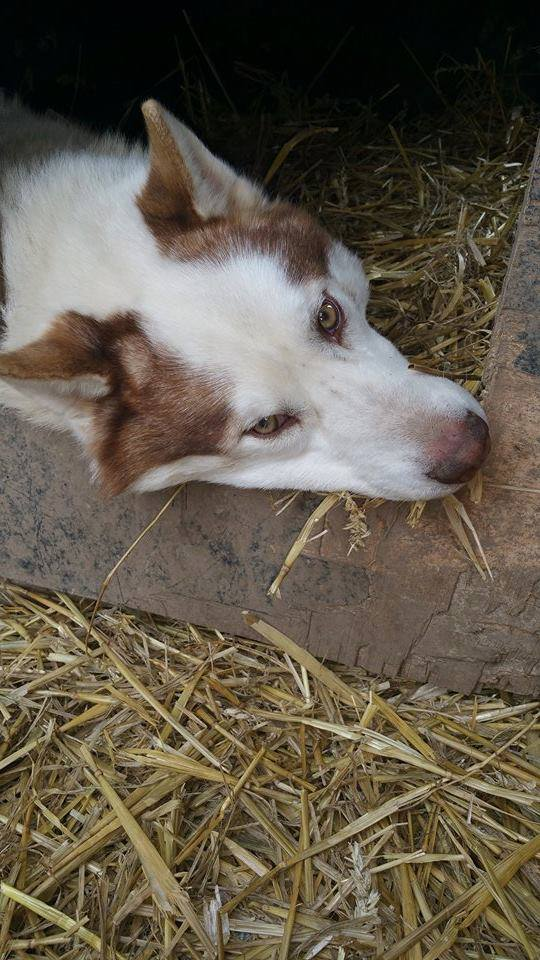 Hulko mâle husky né le 15/09/2012 PART60 11119510