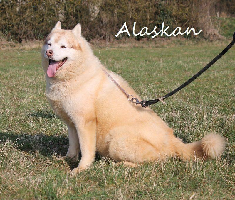 Alaskan, Sibérian Husky cuivré 28/10/2005 pas ok chat REFU28  11136710