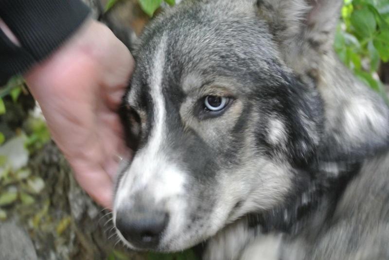 Sparky husky (m) 5 mois et demi, sauvetage Roumanie ADOPTE 11148511