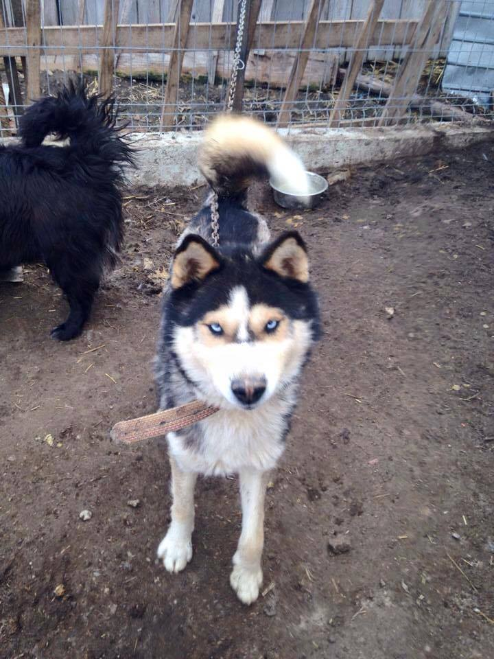 Huss Husky (m) 2/3 ans en urgence ROUMANIE ASSO Suisse  ADOPTER 11149310