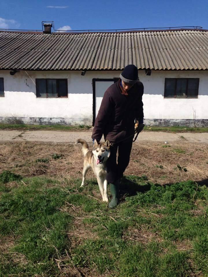 Biko, Husky 2/3 ans gentil ok congénère ROUMANIE ASSO Suisse ADOPTE 11150311