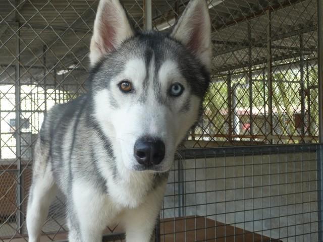NEMO Husky (m) gris et blanc pas de chats, besoin d'èspace REFU17 11150411