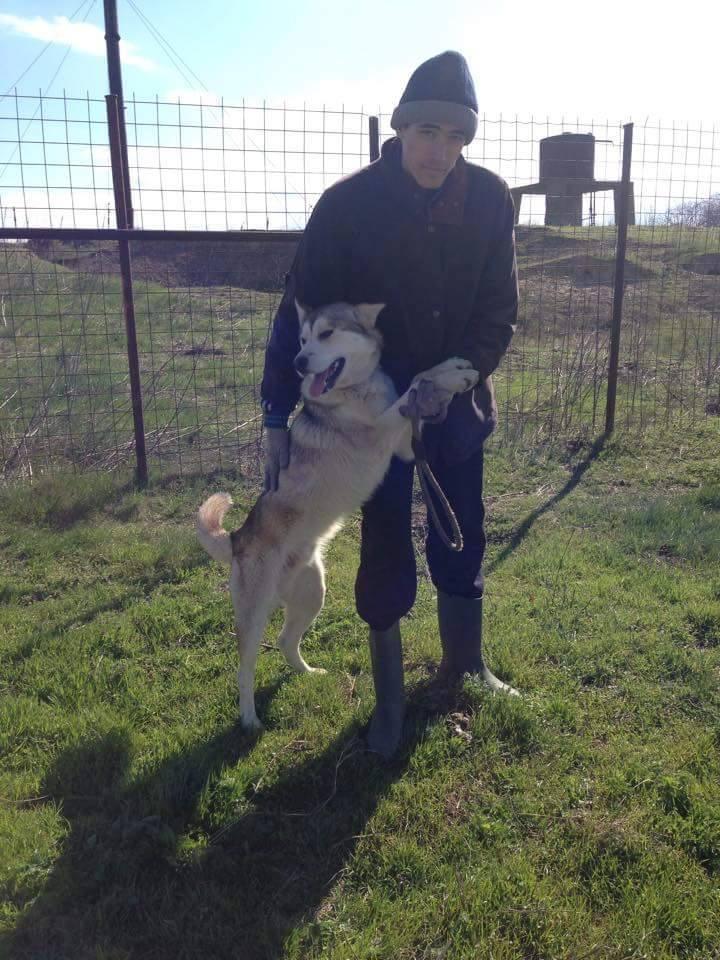 Biko, Husky 2/3 ans gentil ok congénère ROUMANIE ASSO Suisse ADOPTE 11152710