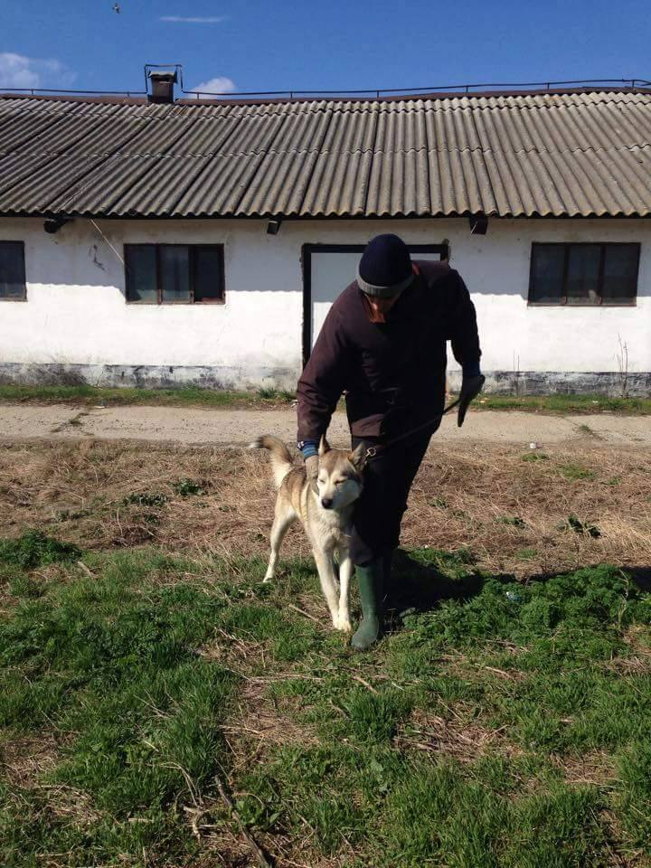 Biko, Husky 2/3 ans gentil ok congénère ROUMANIE ASSO Suisse ADOPTE 11156212