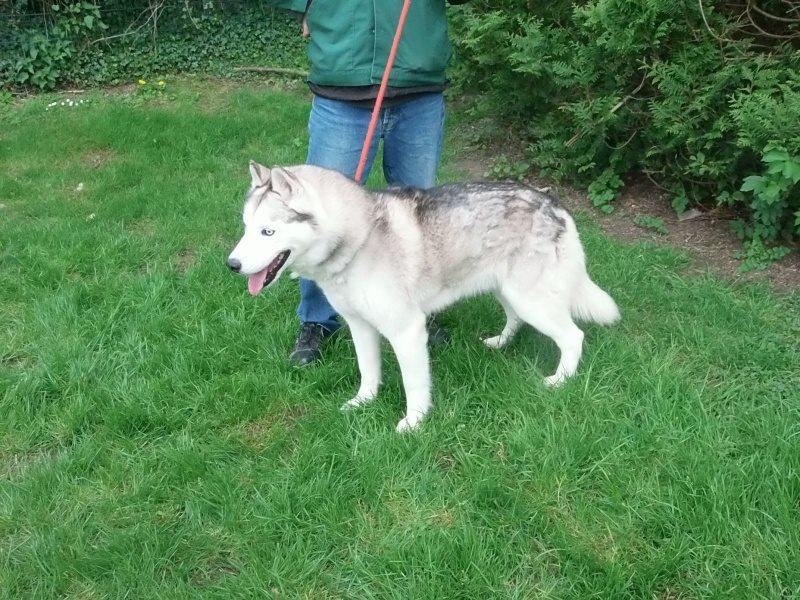 Louka husky (m)11 ans ok femelles  REFU62 ADOPTE 11167610