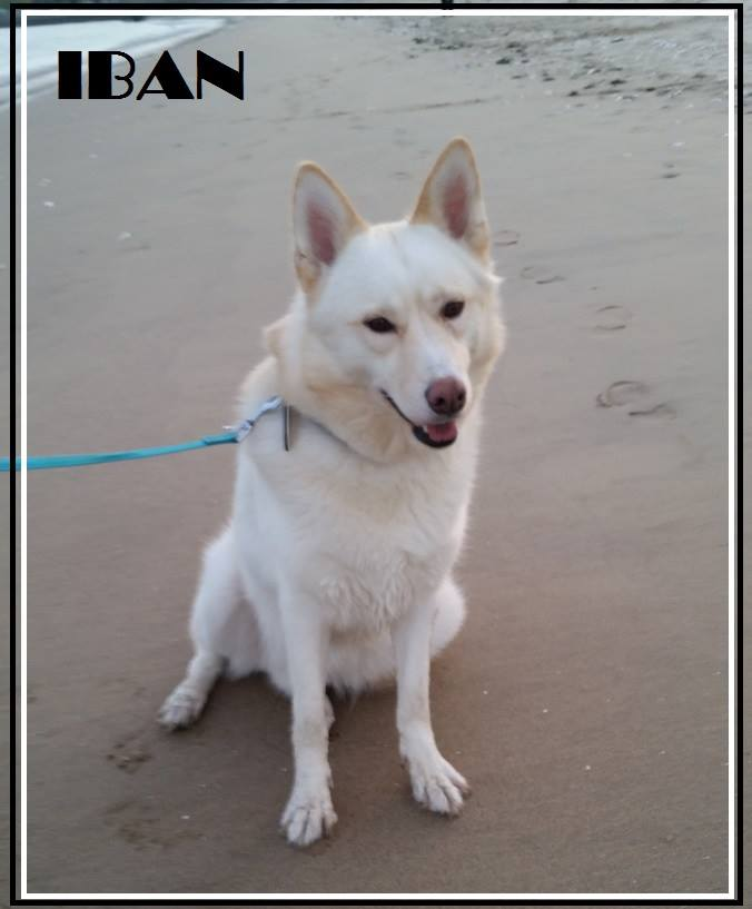 Iban, type Husky, Ok chat 13/12/2012 ASSO56  11168810