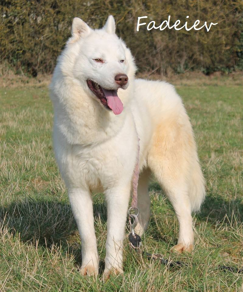 Faddeiev, Husky blanc yeux verron,ok chiens pas de chats REFU28 ADOPTE 11174910