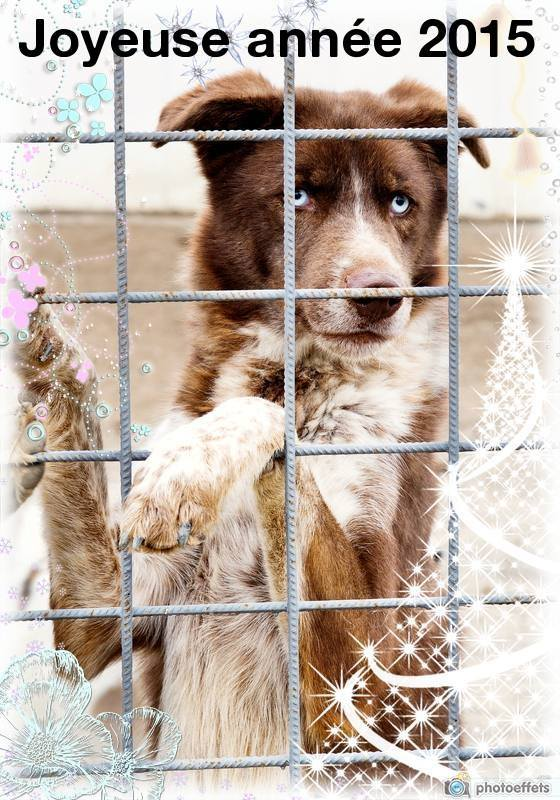 Blue x husky chien chasse (m) 3 ans ROUMANIE  11182010