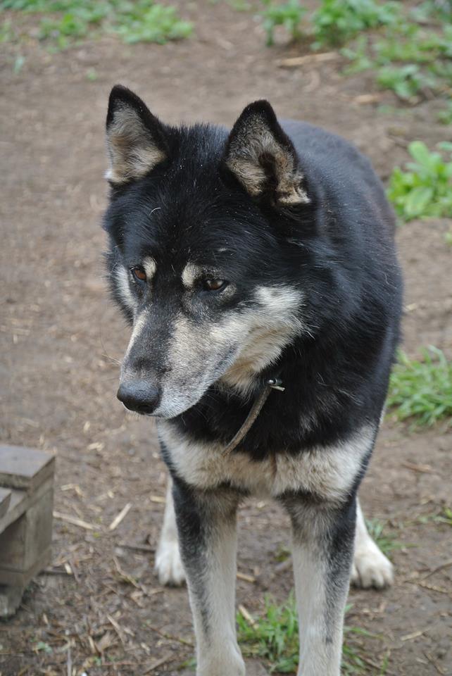 OURAL x  husky (m) 3 ans  ok congénères et chats ROUMANIE 11182110