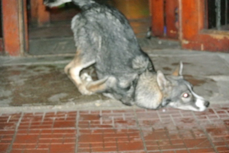 Sparky husky (m) 5 mois et demi, sauvetage Roumanie ADOPTE 11187311