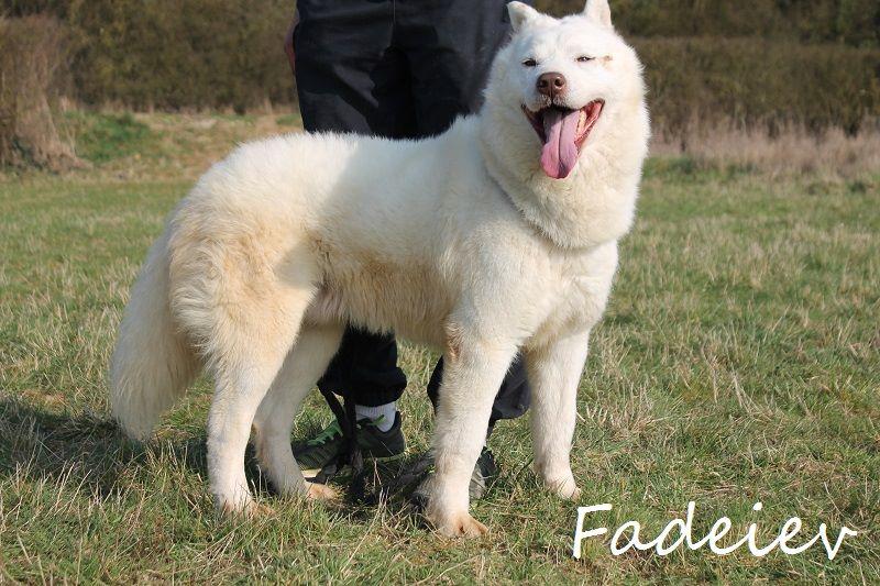 Faddeiev, Husky blanc yeux verron,ok chiens pas de chats REFU28 ADOPTE 11188312