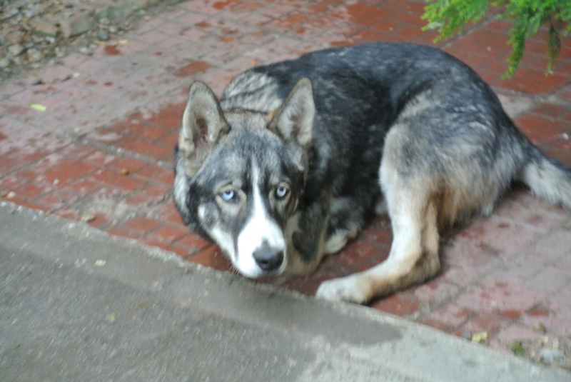 Sparky husky (m) 5 mois et demi, sauvetage Roumanie ADOPTE 11194510
