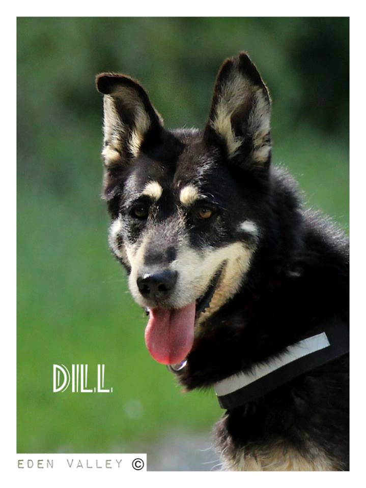 DILL X HUSKY  né en 2007  (m) EDEN VALLEY ASSO39 - Page 3 11202910