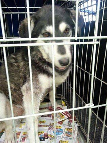 Abby x husky (f) 3/4 ans peur des hommes et des chiens ROUMANIE  11214310