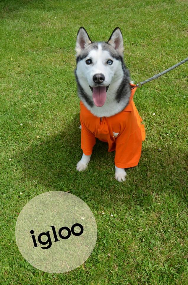 Igloo husky (m)gris et blanc né le 07/2013/doux REFU50  ADOPTé!! 11225310