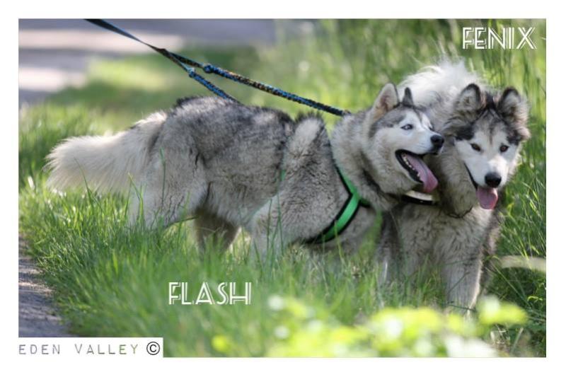 FLASH Husky (m) né le 19/11/2010 ok congénère  PAS DE CHATS ASSO39 - Page 2 11227710