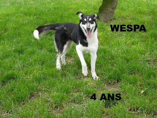 Wespa, Husky x Berger 4 ans (f) REFU82 Adopter 11238210