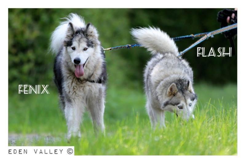 FLASH Husky (m) né le 19/11/2010 ok congénère  PAS DE CHATS ASSO39 - Page 2 11262110