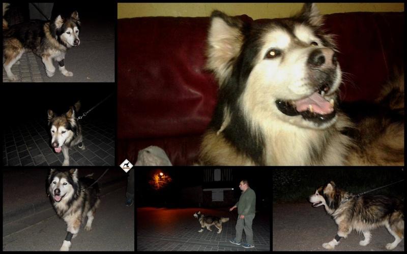 Rocco, Malamute mâle ASSO14 11289410