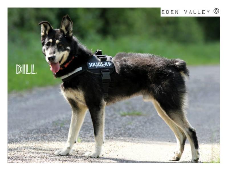 DILL - x husky 13 ans (11 ans de refuge)  Asso Eden Valley à Recanoz (39) 11329810