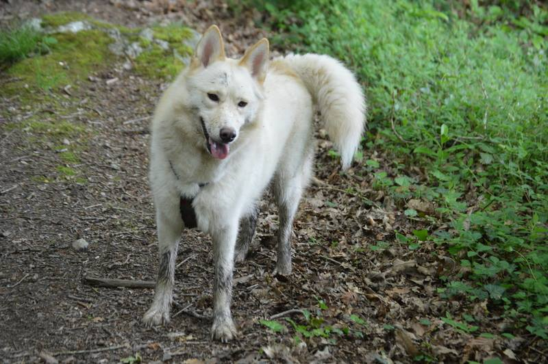 Iban, type Husky, Ok chat 13/12/2012 ASSO56  11351210