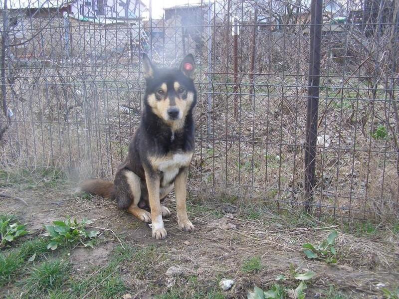 Daiko x husky entre 5 et 7 ans ASSO Roumanie ADOPTE 11677_10